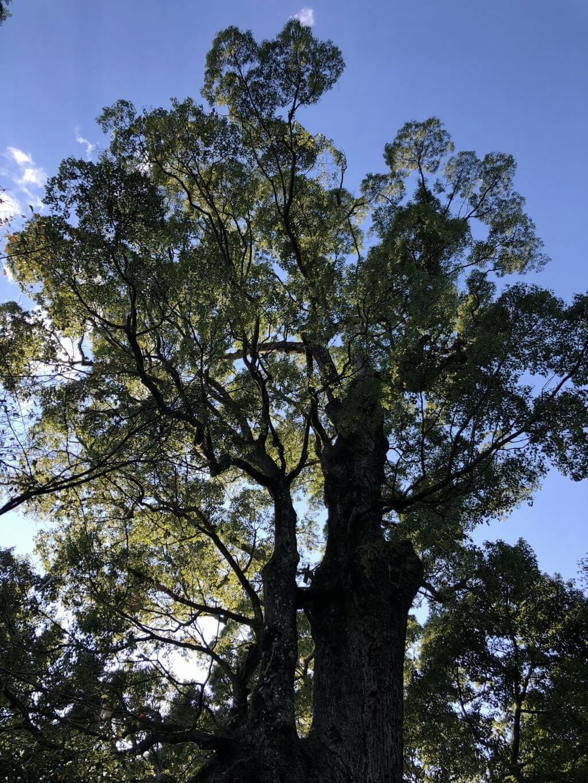 柞原八幡宮 クスの木