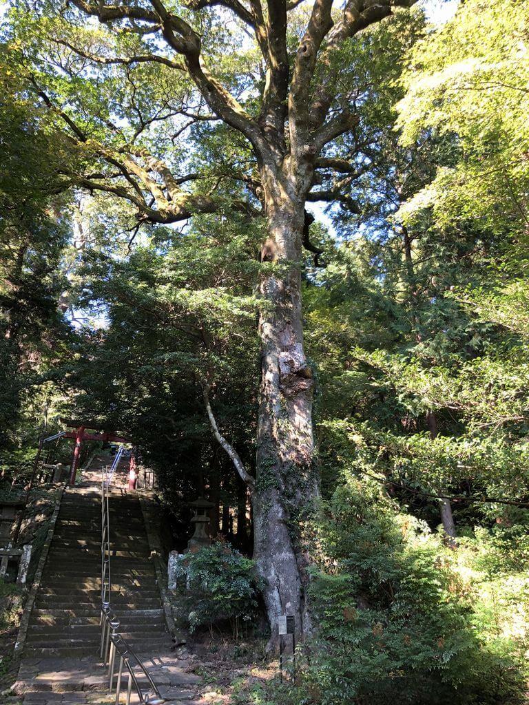 柞原八幡宮 ホルトの木