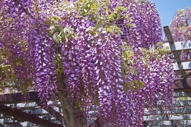 【大分市】毎年恒例!西寒多神社で藤まつり開催!日程に変更があります!